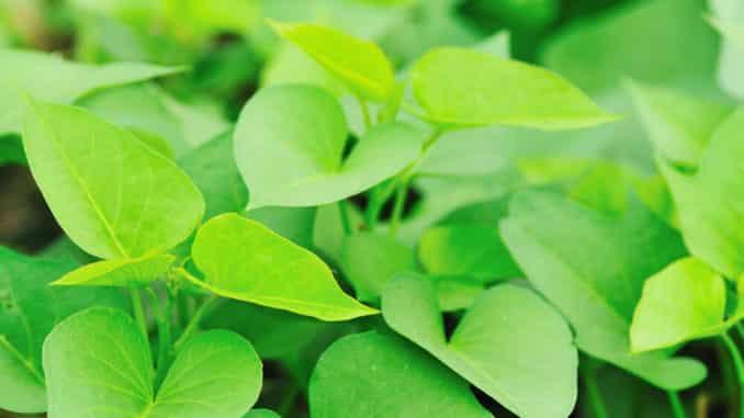 Süßkartoffel-Pflanze Blätter